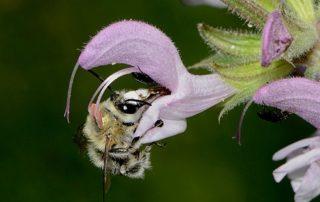 Anthophora on Salvia