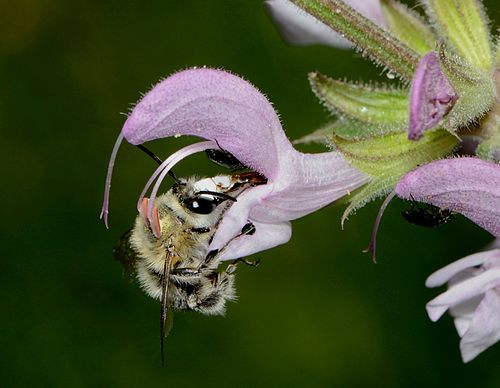 Anthophora on Salvia
