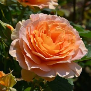 Butchart Rose