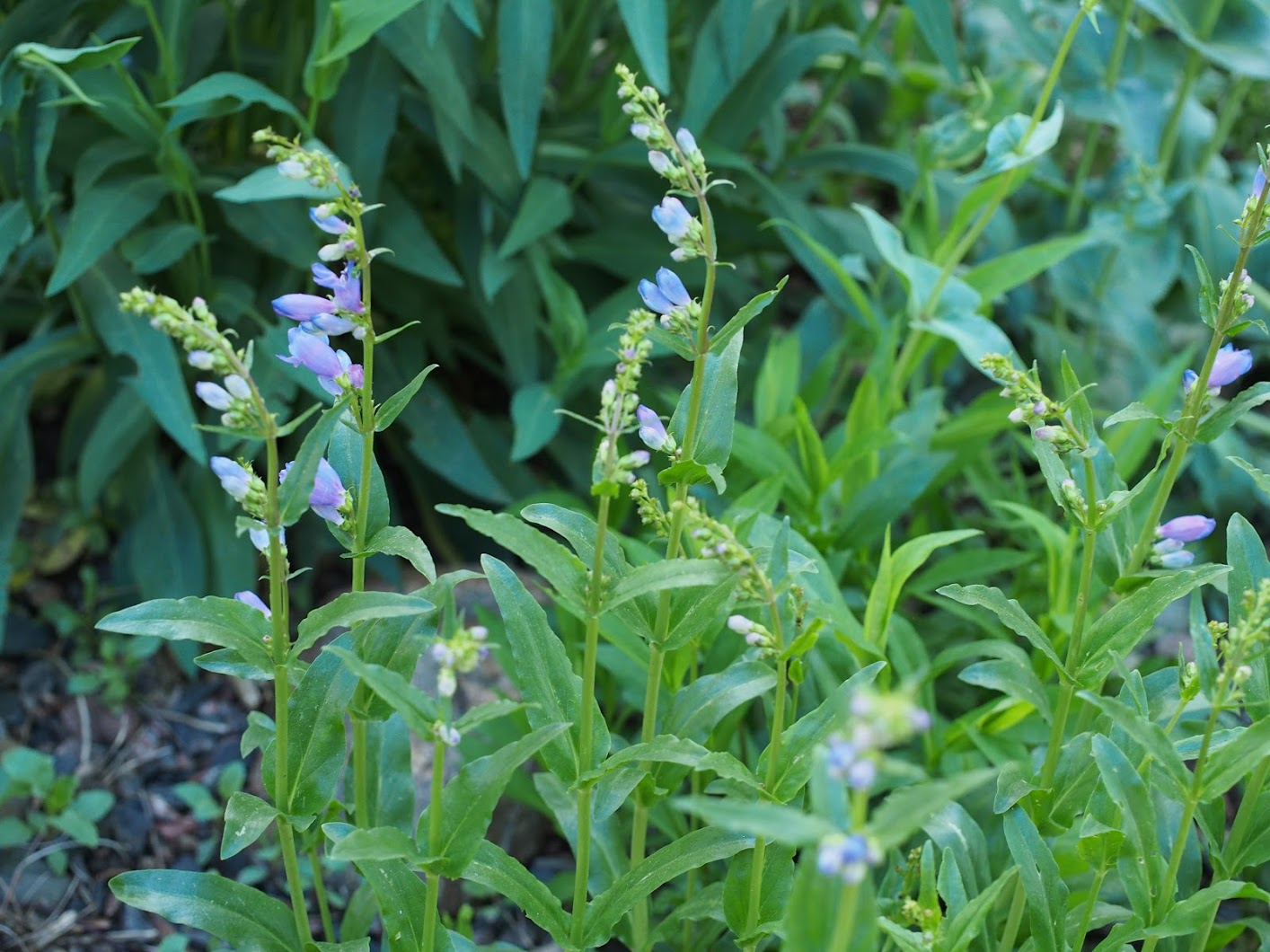 Penstemon strictus